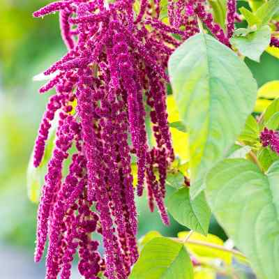 Rausch Amaranth Repair Serum  bei versandapo.de bestellen